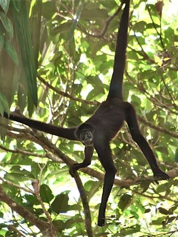 A brown spider monkey seen in the Colombian park.